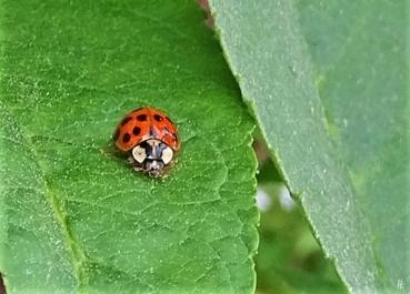 Asiatischer Marienkäfer (Harmonia axyridis) an Schmetterlingsflieder (Buddleja davidii)