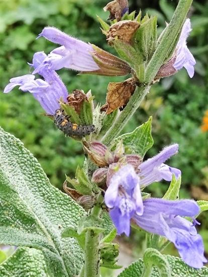 Asiatische-Marienkäferlarve (Harmonia axyridis) an Salbei (Salvia officinalis)