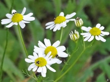 Echte Kamille (Matricaria chamomilla) + Bibernellen-Blütenkäfer (Anthrenus pimpinellae)