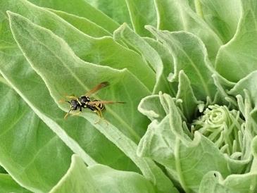 Gallische Feldwespe (Polistes dominula) auf Kandelaber-Königskerze (Verbascum olympicum)