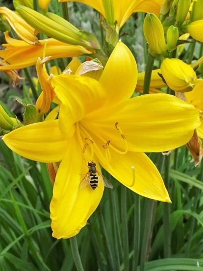Gelbe Taglilien (Hemerocallis lilioasphodelus) + Mondschwebfliege (Metasyrphus luniger)