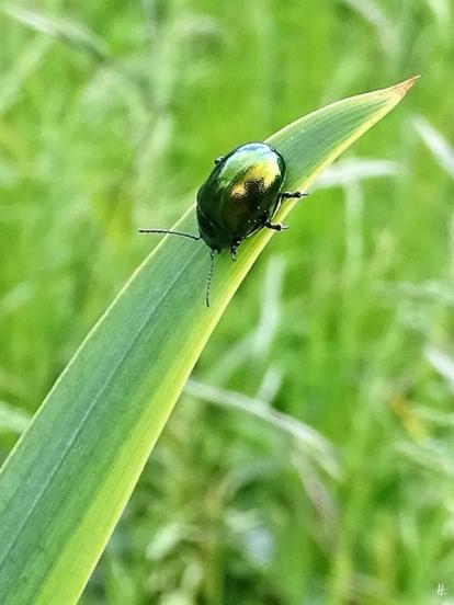 Grüner Minzeblattkäfer (Chrysolina herbacea) auf Sumpfirisblatt