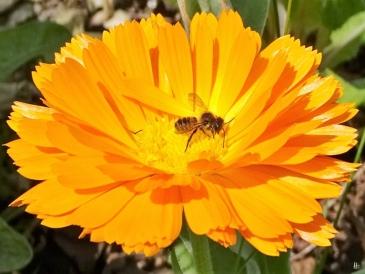 Ringelblume (Calendula officinalis) + Blattschneiderbiene (Megachile)