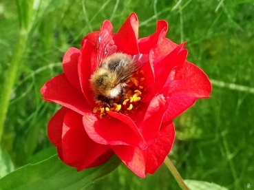 Rote Nelkenwurz (Geum coccineum) + Ackerhummel (Bombus pascuorum)